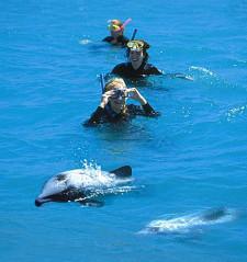 Dolphins, Akaroa, New Zealand