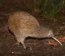 Wild Kiwi, Stewart Island, New Zealand