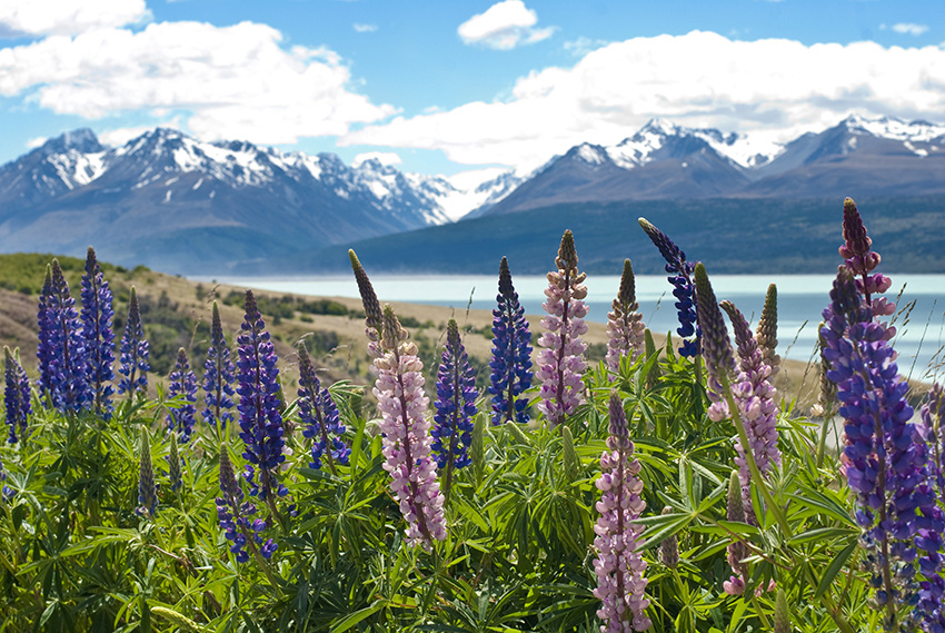 Gorgeous Lupins at Lake Tekapo