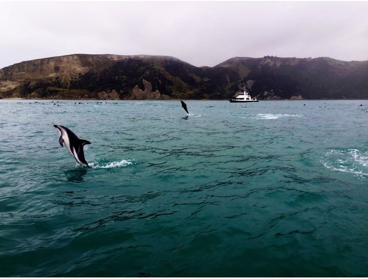 dusky dolphins playing in kaikoura