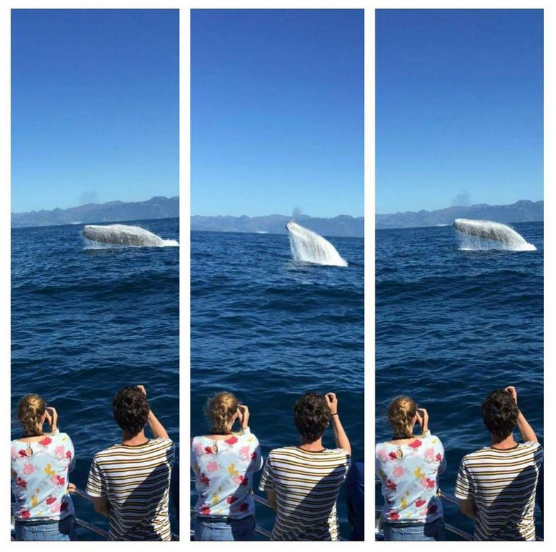 spermwhale saddleback breaching Credit: Whale Watch Kaikoura