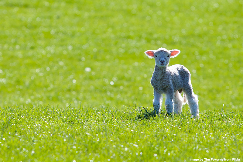 spring lamb in New Zealand