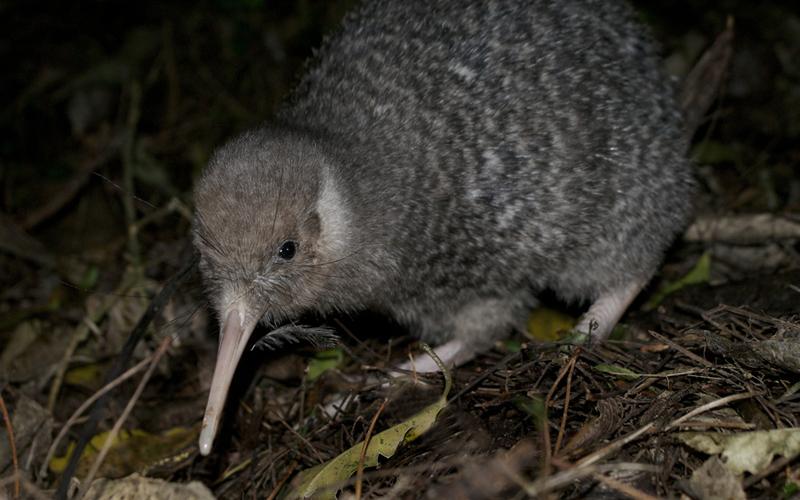 Little Spotted Kiwi at Zealandia credit Zealandia