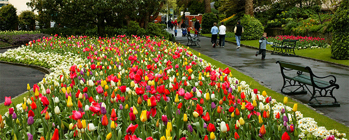 Tulips at the Wellington Botanic Garden