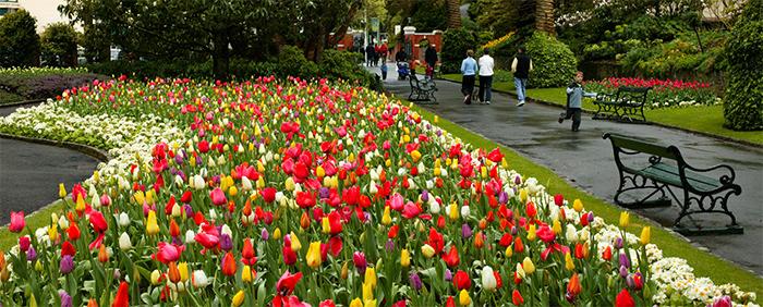 Tulips at the Wellington Botanic Garden